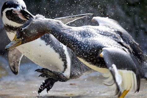 penguin fights   duck   zoo enclosure abc news