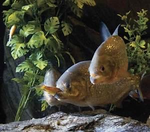 Image Gallery piranhas eating