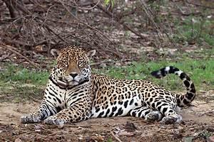 South American jaguar - Wikipedia