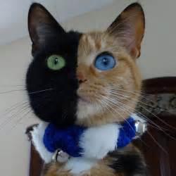 venus the cat venus chimera cat