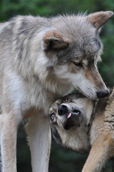 glossary international wolf center