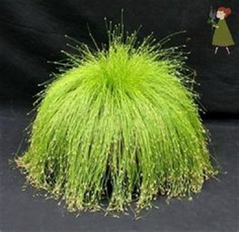 euonymous japonica green spire    stunning evergreen shrub  deep green glossy