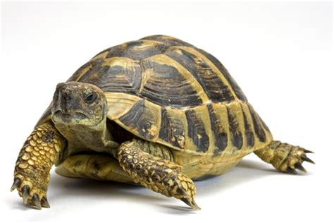 article technique les tortues terrestres la ferme