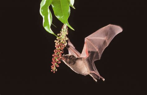 bat pollination  review  plant press