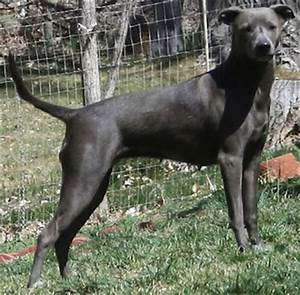 Ultimate Dog: Dog Breeds: American Blue Lacy