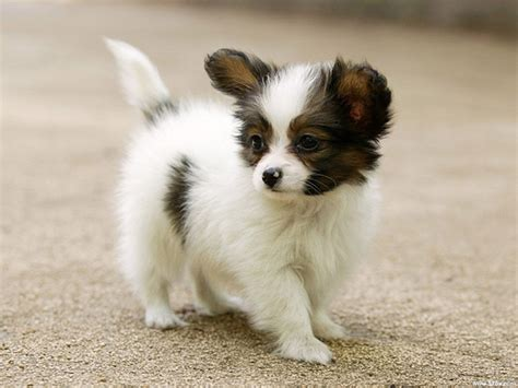 Cute Dog Wallpaper Flickr P O Sharing