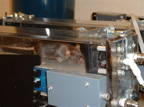 """Genetically Altered """"super Mouse"""" On Treadmill. Credit"""