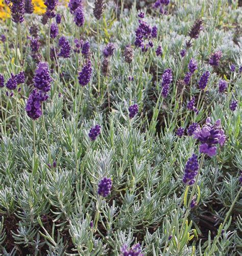lavandula angustifolia care dwarf munstead west coast seeds