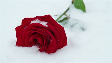 rose   snow stock footage video  royalty