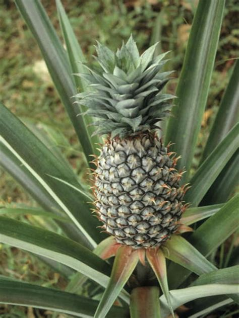 pineapple plant starting and growing pineapple plants hgtv