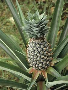 Starting and Growing Pineapple Plants   HGTV