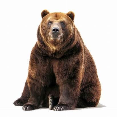 Bear Transparent Brown Sitting Omnivore Purepng Kodiak