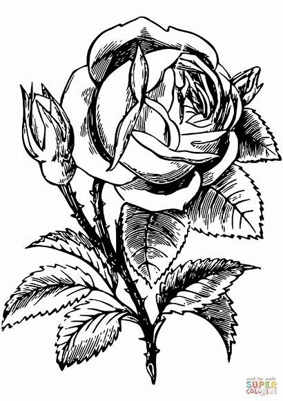 Roses Coloring Rose Pages Drawing Floral Flower