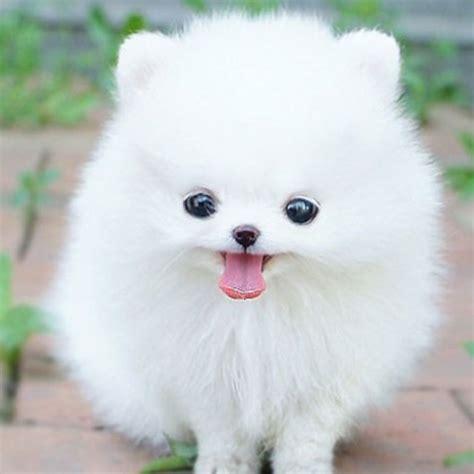pomeranian dog temperament exercise  grooming