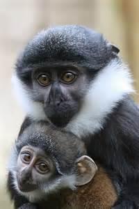L'Hoest's Monkeys