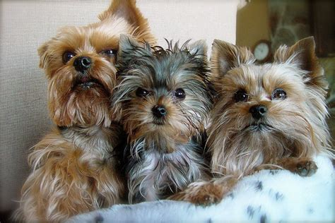Three Very Attractive Yorkie Haircuts> Puppy Toob