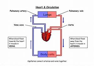Pulmonary Circulation Diagram  U2014 Untpikapps