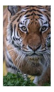 Stare Tiger 4K 5K HD Animals Wallpapers | HD Wallpapers ...