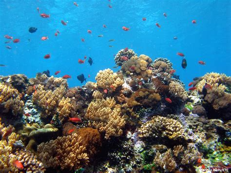 coral triangle center balis coral reefs resilient