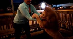 Un perro es confundido con un león debido a su corte de pelo Schnauzi