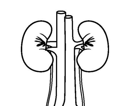 Human kidneys coloring page - Coloringcrew.com