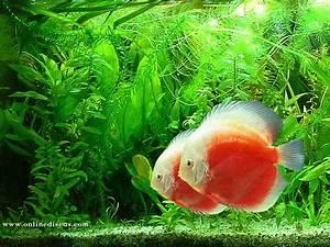 Fish Species n.3 - Discus (Symphysodon discus) - Feast ...
