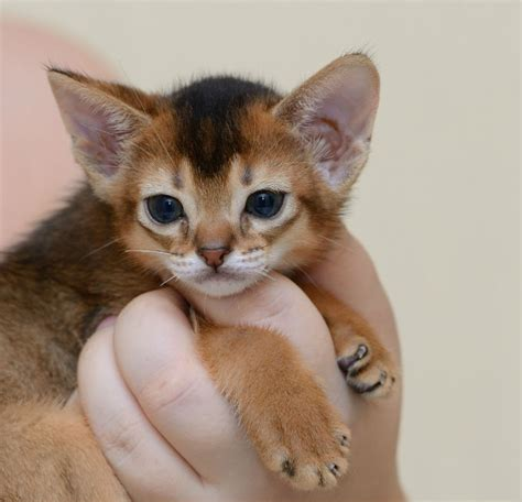 Abyssinian Cat Breed Information, Pictures