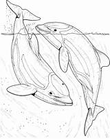 Dolphin Coloring Dolphins Pages Realistic Sea Fish Printable Adult Supercoloring Bottlenose Ocean River Fun Drawing Animal Animals Getdrawings Draw Adults sketch template