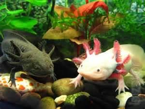 Pirate Themed Nursery by Mexican Axolotl Aquarium Dragon Buy On Www Bizator Com