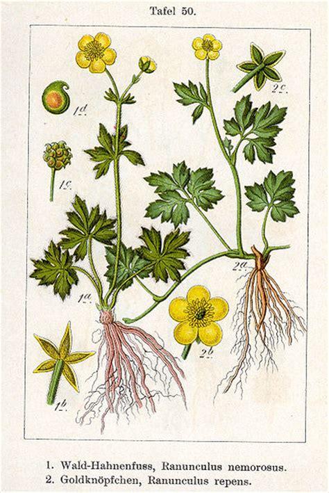 how do ranunculus flowers grow ehow uk