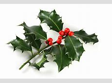 Historical Information and Growing Tips for Holly