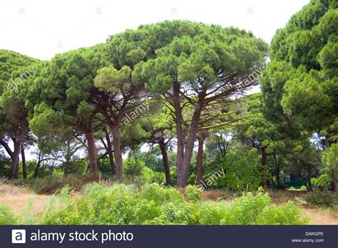 italian pine tree pine italian pine umbrella pine pinus pinea 7609