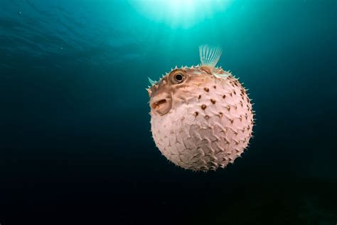 Blowfish Wallpapers Backgrounds HD Wallpapers Download Free Images Wallpaper [1000image.com]