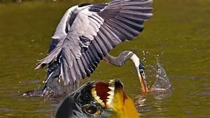 Piranha Attack Compilation - Piranha Attack caught on ...