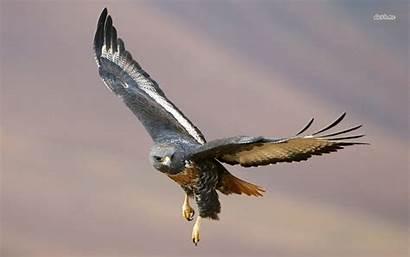 Hawk Wallpapers Animal Wallpapersafari Hawks