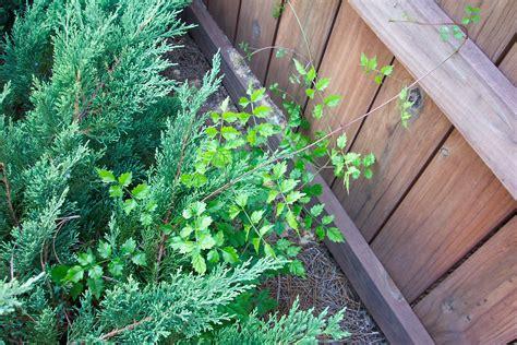 Prednisone For Poison Ivy Rash Ventolin Durant Grossesse