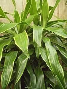 Grande Plante Verte : les plantes d 39 int rieur dracaena chezmamielucette ~ Premium-room.com Idées de Décoration