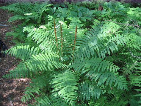 fern plant images growing cinnamon ferns tips for cinnamon fern care