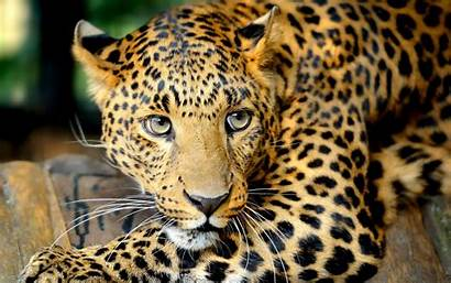 Leopard Resolution Animal Wallpapers Cheetah Pixelstalk Leopards