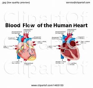 Clipart Of A Medical Diagram Of Blood Flow Of The Human