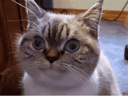 Funny Face Cat Gifs Kitten Chubby Tenor