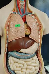 Human Anatomy Lab  The Digestive System