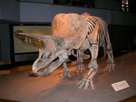 Triceratops Dinosaur Tooth