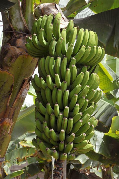 grand nain naine banana tree  backyard fruit fruit