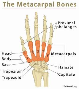 Metacarpals  Definition  Location  Anatomy  Function  Diagram