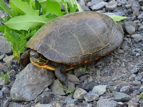 painted turtle file midland painted turtle jpg wikimedia commons