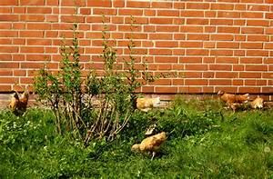 Hühner Im Garten : h hner halten f r gesetzestreue b rger wir sind im garten ~ Markanthonyermac.com Haus und Dekorationen
