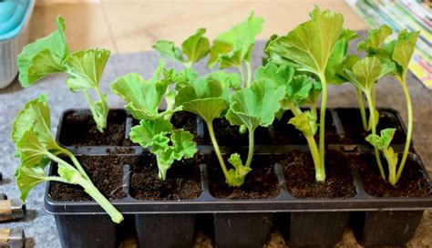 geraniums cuttings scottish artist and his garden autumn harvesting