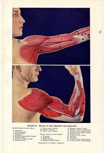 Arm Muscles Flexed And Extended Human Anatomy 1933