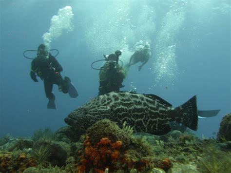grouper goliath atlantic endangered pouted dangerous eat